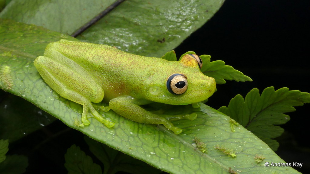 Rough Skinned Green Treefrog, Hypsiboas cinerascens