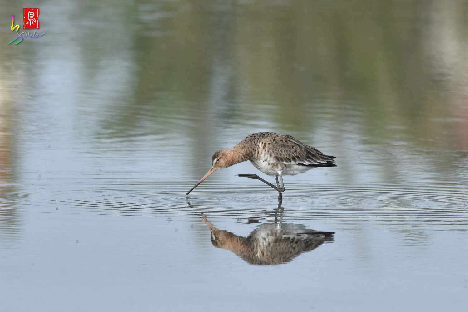 Black-tailed_Godwit_6677