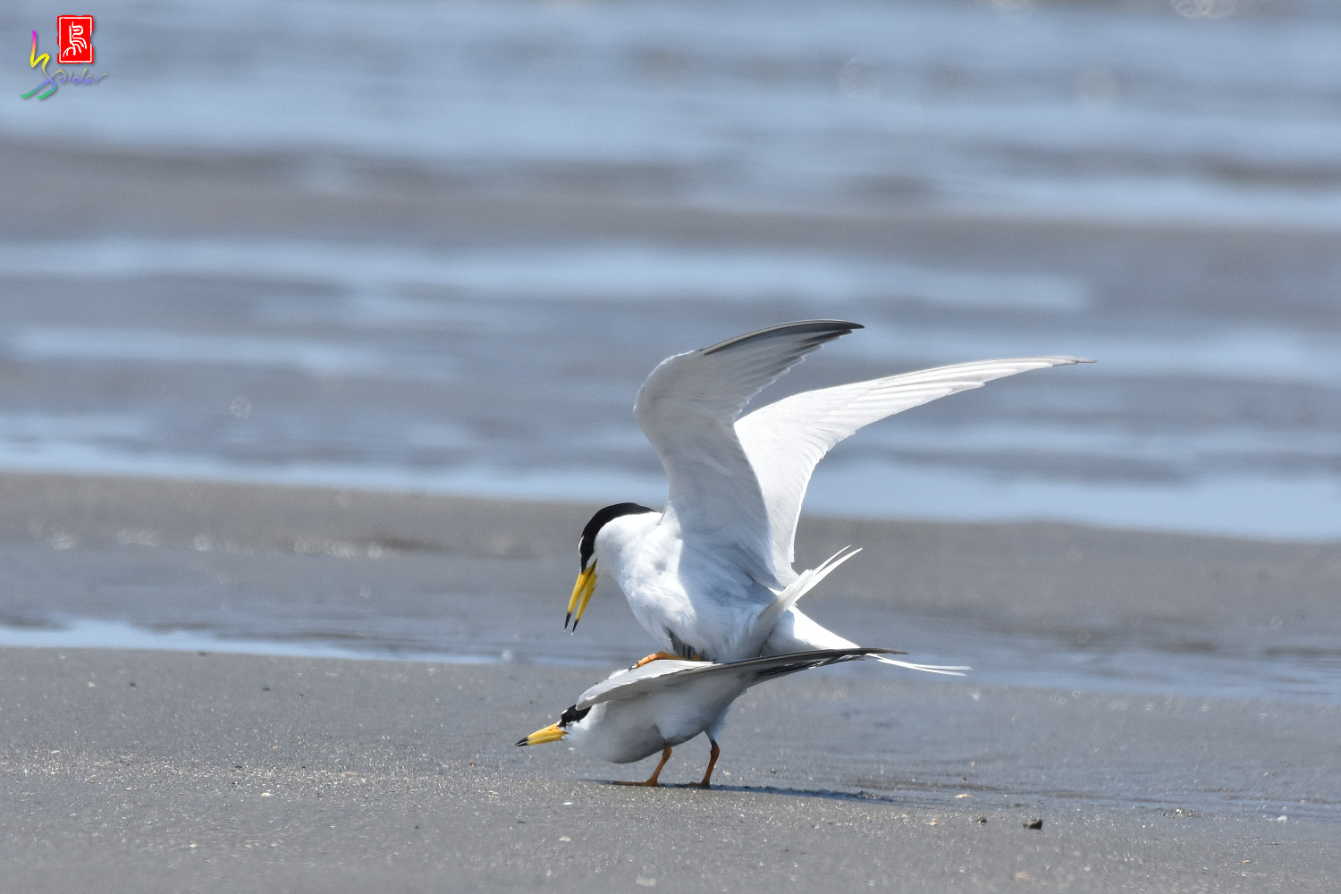 Little_Tern_8612