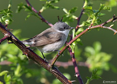 DSP02135 - Lesser Whitethroat  (Sylvia curruca)