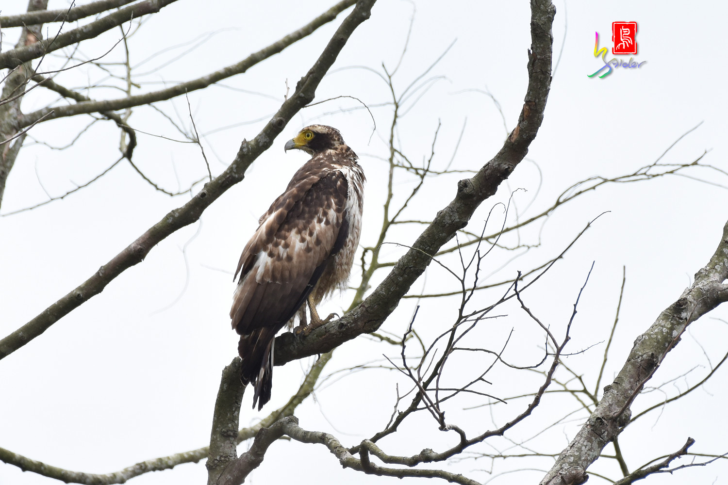 Crested_Serpent_Eagle_7430