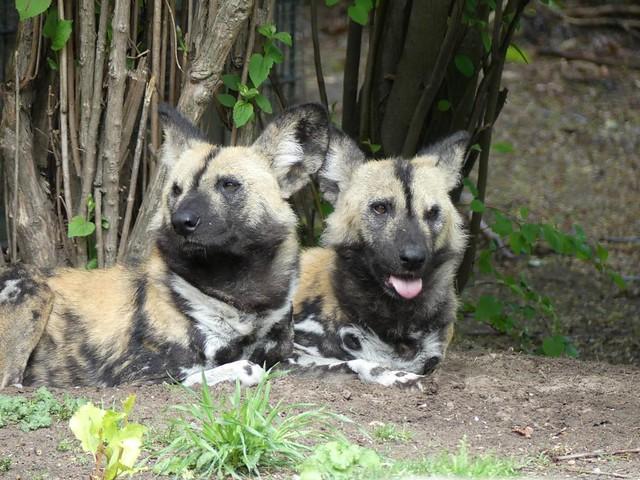 Wildhund, Zoo Berlin