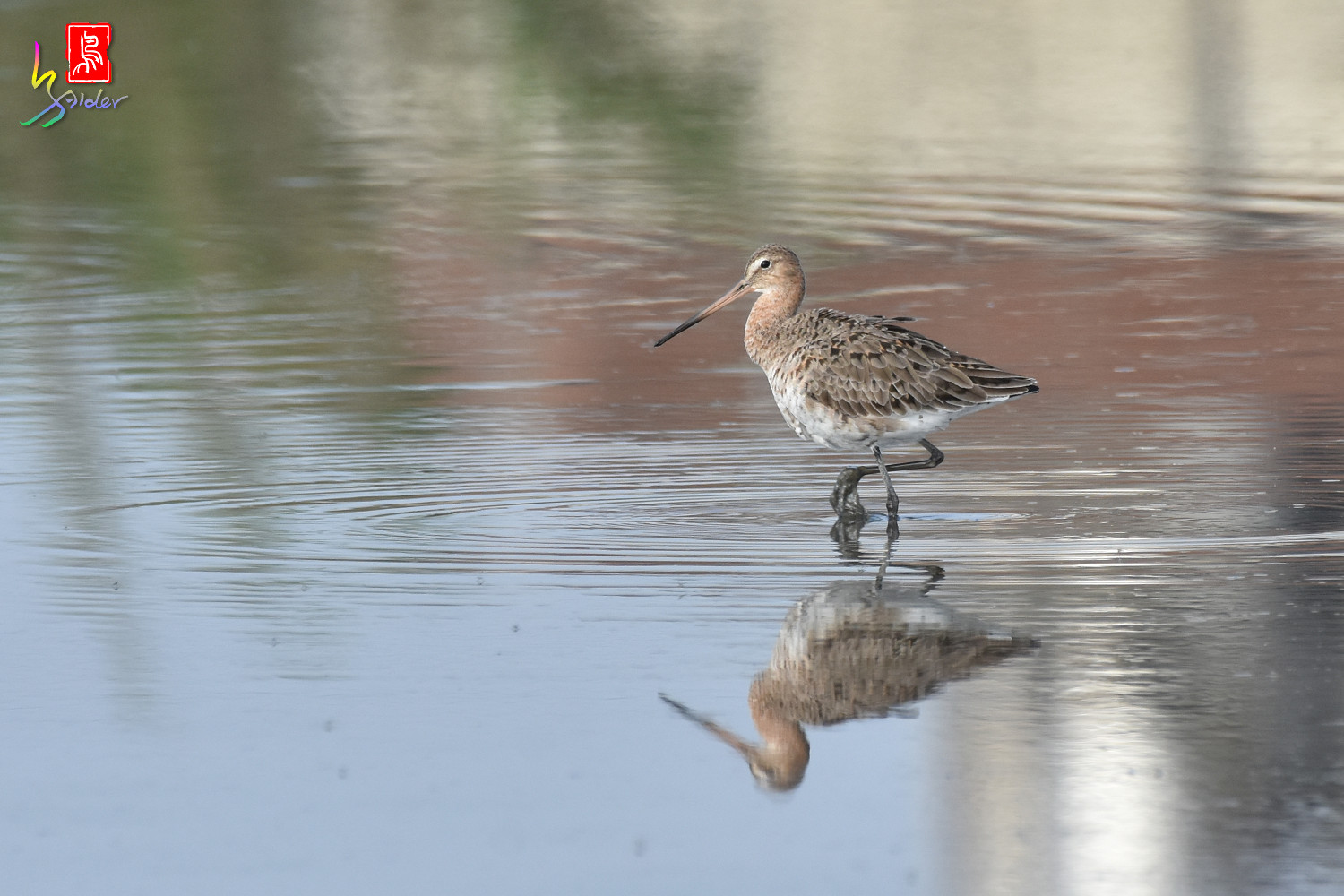 Black-tailed_Godwit_6655