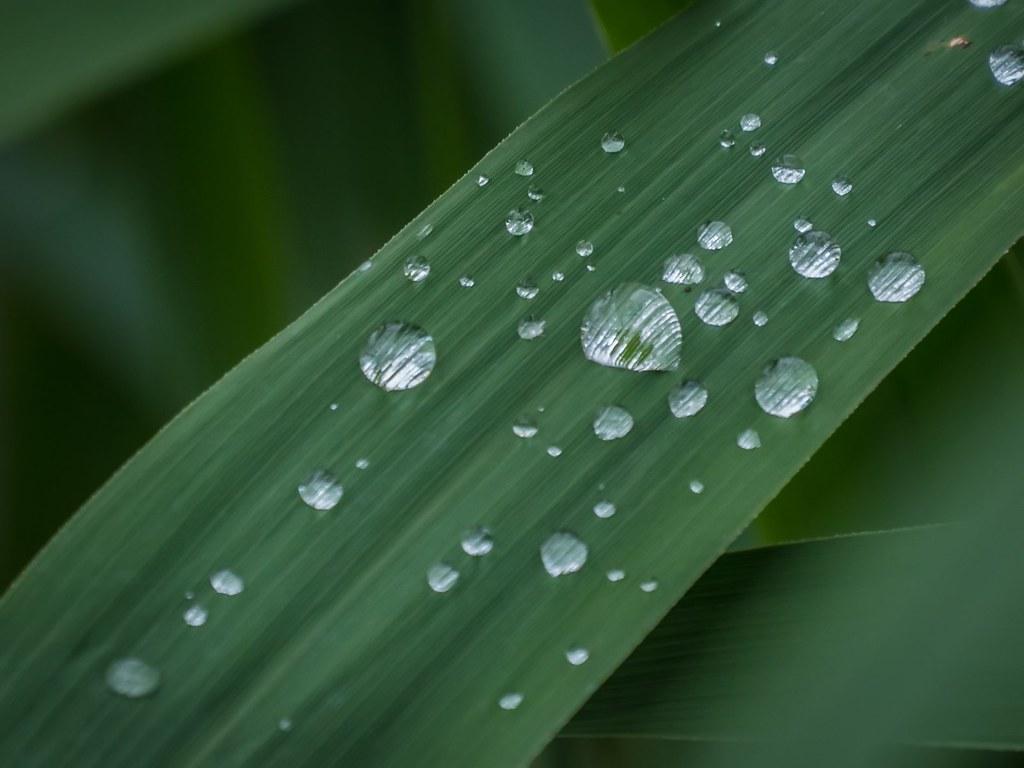 Moi je t'offrirai des perles de pluie... 42063050182_537a2177e5_b