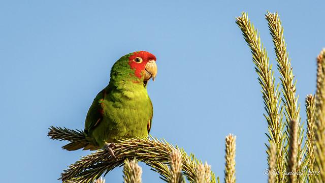 H6) Red-masked Parakeet [Explored]