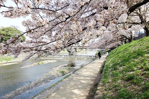 京都高野川櫻花