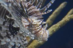 Pterois / Lion Fish
