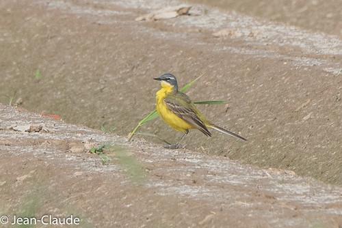 Motacilla flava - Yellow Wagtail