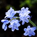 32 Hybrid Bluebell (Hyacinthoides x massartiana) by AndyCossins