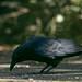 Carrion Crow  12