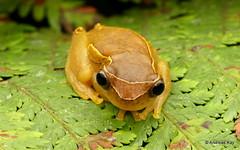 Upper Amazon treefrog, Dendropsophus bifurcus
