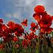 Poppy Field by lady_sunshine_photos