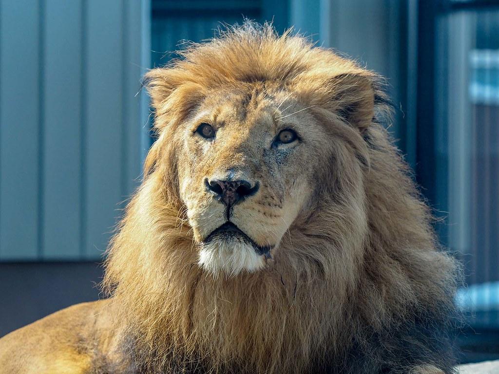 ライオン/190mm相当