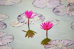 Lotus at Lal Bagh