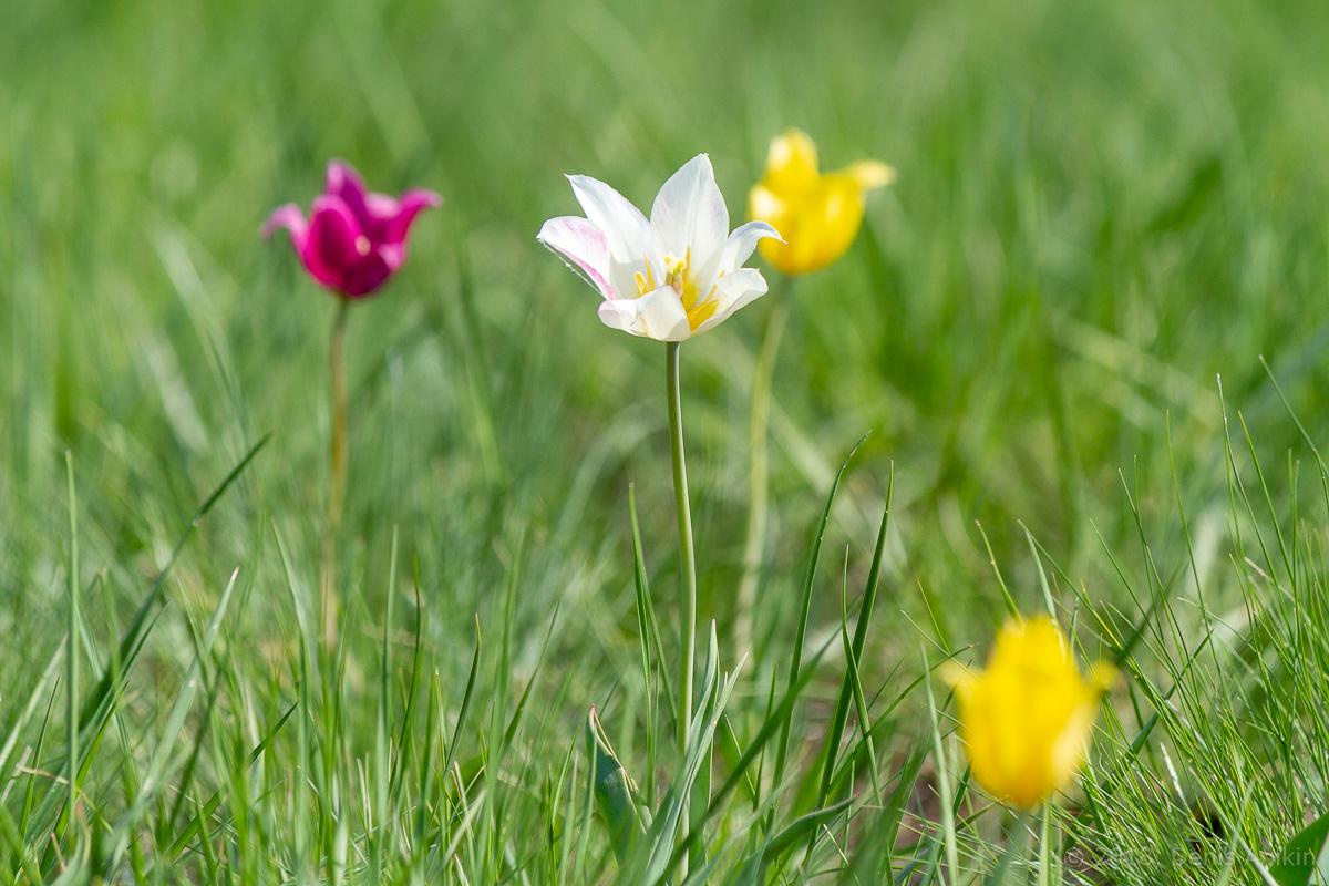 тюльпаны иваново поле фото 7
