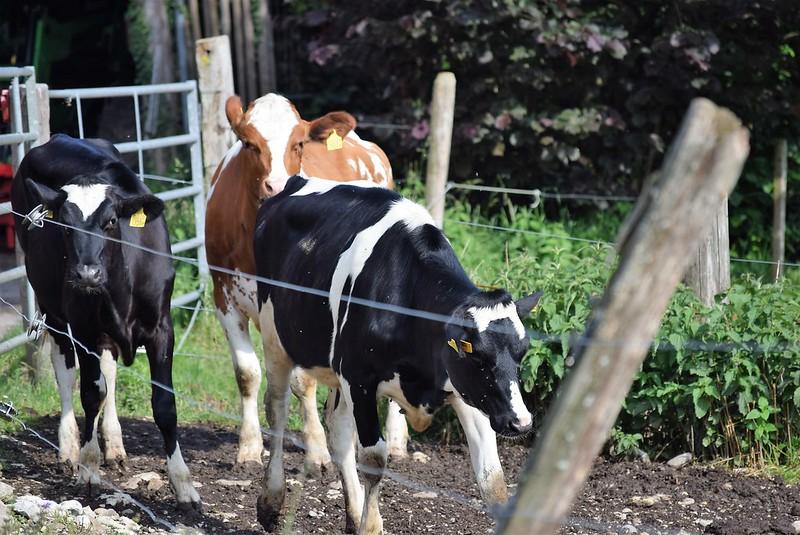 Cows 22.05 (4)
