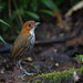 Chestnut-crowned Antpitta (Grallaria ruficapilla ruficapilla) by piazzi1969