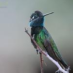 Rivoli's ~formerly Magnificent~ Hummingbird