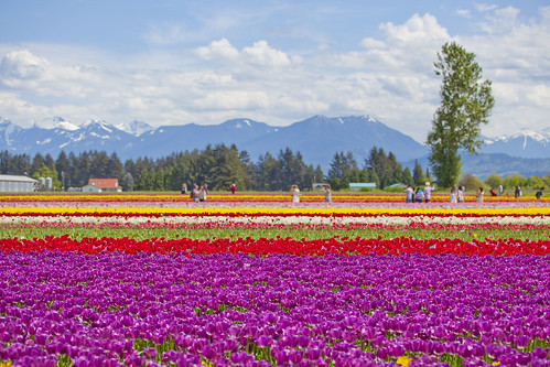 Tulip Festival 2018 @ Tulips of the Valley, Chilliwack
