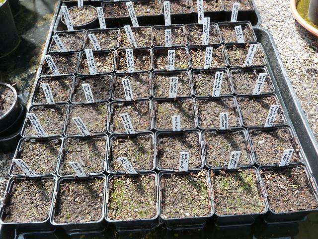 semis sarracenia et darlingtonia - Page 4 41353220905_a79a4a406e_z