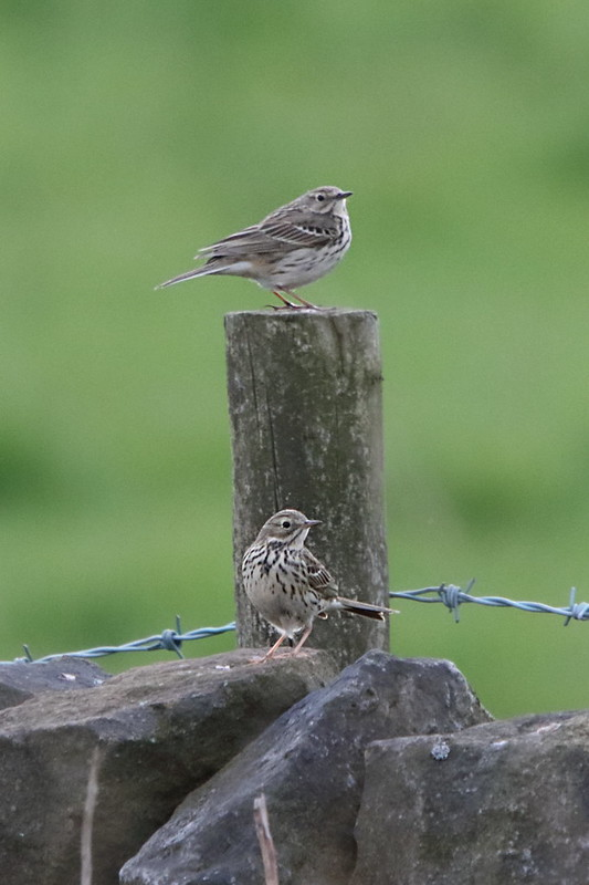 Meadow Pipit pair