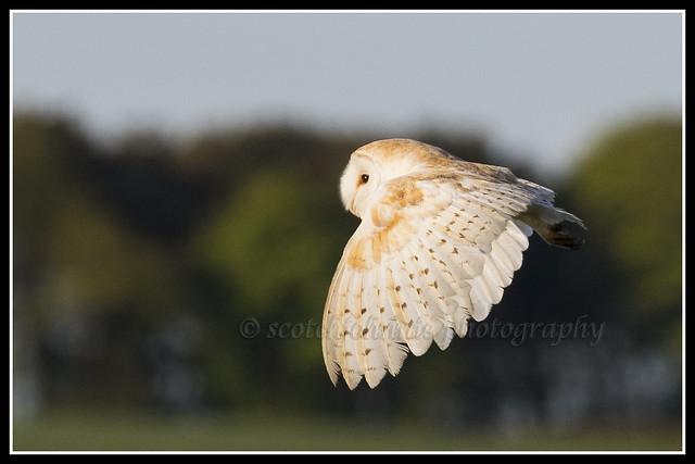 IMG_0083 Barn Owl