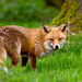 Red Fox by Wild Lens