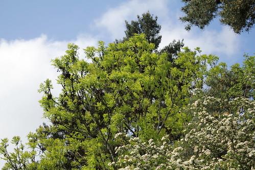 Fraxinus excelsior - frêne élevé, frêne commun 42040165261_a94a7d5275