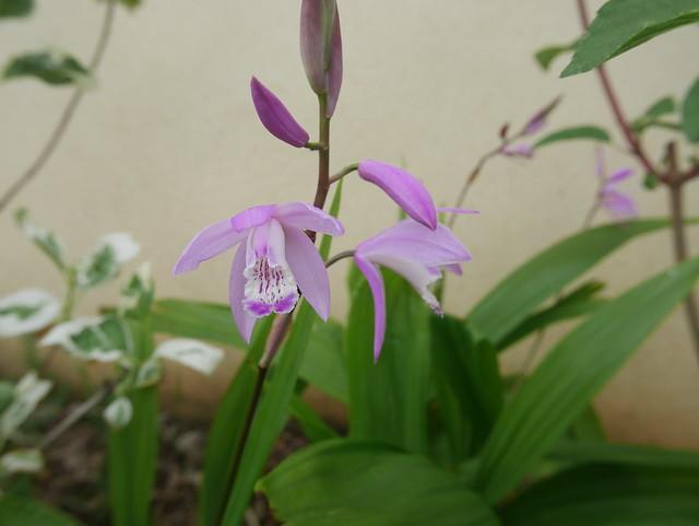 Bletilla striata - orchidée du Japon - Page 4 42094982322_e7d5ef4c01_z