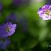 Flowers by ElenaK@Chicago