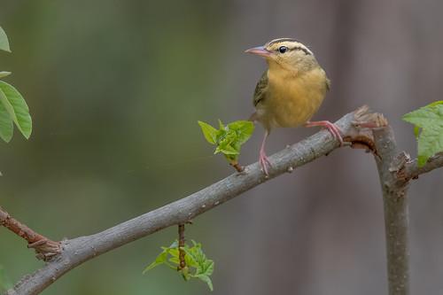 songbird helmitherosvermivorum wildlife forest bird wormeatingwarbler migration warbler perch nature clayton newjersey unitedstates us