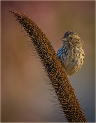 House Finch On The Lookout by Ron Szymczak HM DPI of the Year