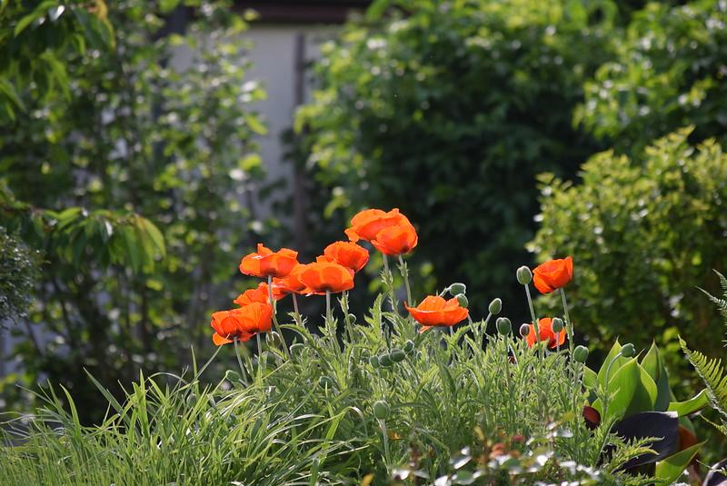 Poppies 22.05 (2)