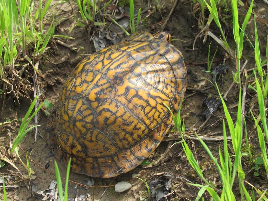 Eastern Box Turtle- Wow!