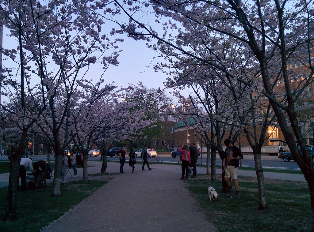 Sakura of Robarts in twilight (12) #toronto #sakura #cherryblossom #universityoftoronto #robartslibrary #harbordstreet #latergram