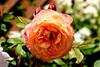 Photo:Rose in The  Ofuna Botanical Garden, Ofuna, Kamakura : バラ(神奈川県立フラワーセンター大船植物園) By Dakiny