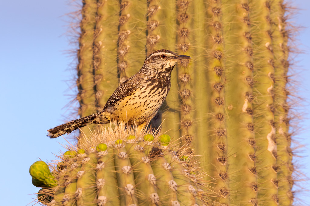 A cactus wren perches on a saguaro arm in the early morning light in the Brown's Ranch section of McDowell Sonoran Preserve in Scottsdale, Arizona