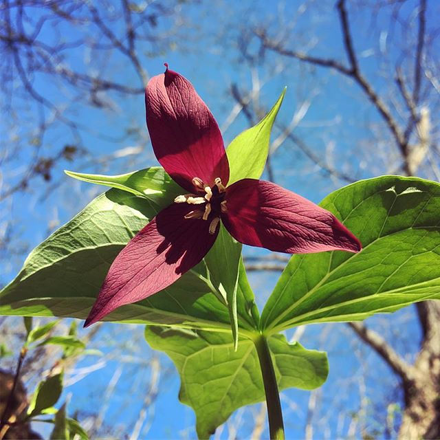Found lots of #trillium in the woods around the house this year. All red, no white. #stinkingbenjamin