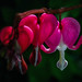 bleeding hearts, Vancouver. by gks18