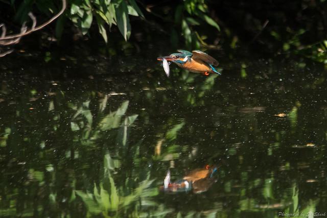 20180512-kingfisher-DSC_2039
