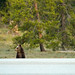 Grizzly Cub Looks to Cross Highway by GrandTetonNPS