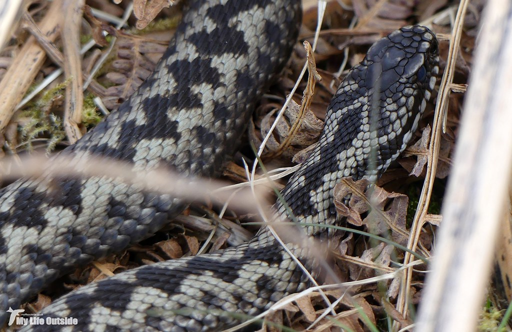 P1140491 - Adder, Isle of Mull