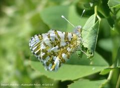 Desert Marble butterfly