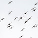 Black Tailed Godwit at Potteric Carr