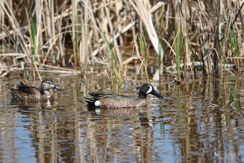 IMG_3136BlueWingedTeals