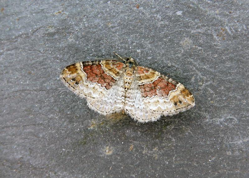 70.051 Red Twin-spot Carpet - Xanthorhoe spadicearia