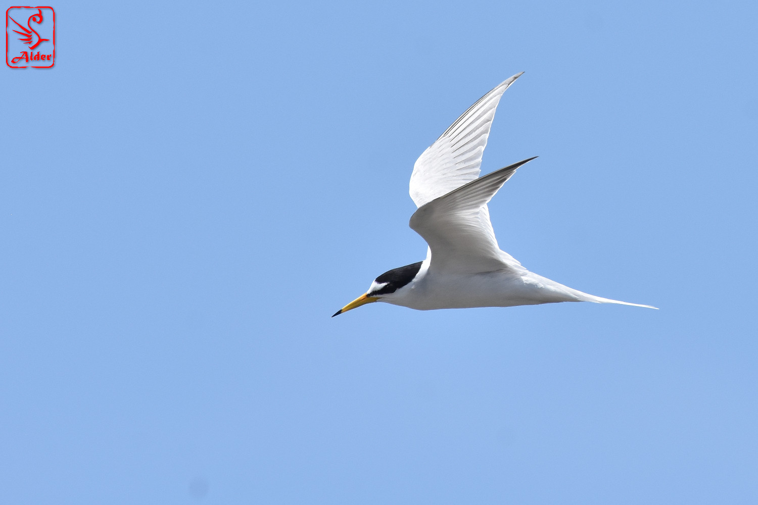 Little_Tern_8261