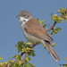 whitethroat 10 2018