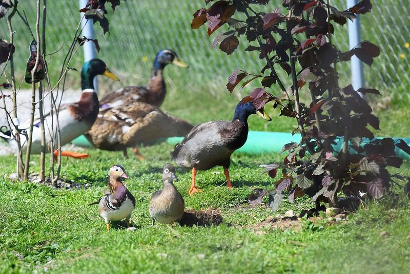 Ducks 20.05 (11)