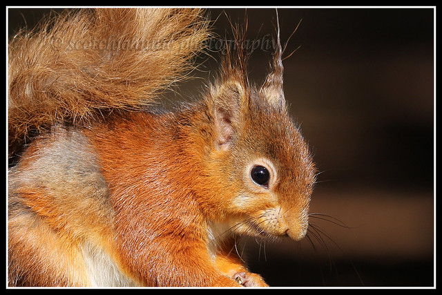 IMG_0079 Red Squirrel